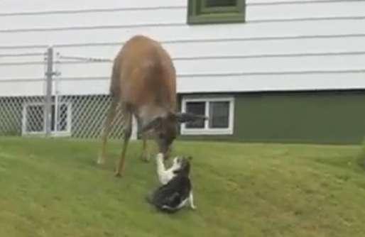kucing vs rusa, cat vs deer, cat vs deer vs dog,